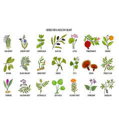 Collection of best herbs for healthy heart vector