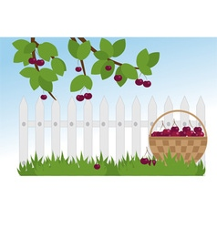 ripe cherries in the garden vector image