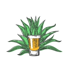 Cactus blue agave with glass tequila vintage vector