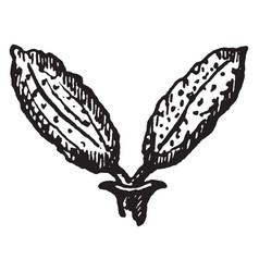 Black ash flower vintage vector