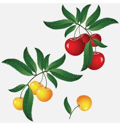 cherry on branch vector image