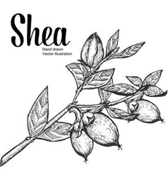 Shea plant vector