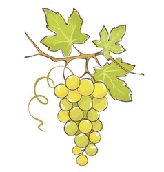 Bunch of white grapes vector