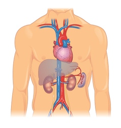 Heart and major organs vector