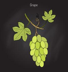 common grape vine vector image vector image