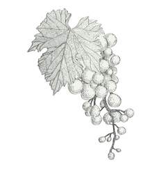 Hand drawn bunch of grapes isolated on white vector