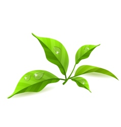 green leaves isolated vector image vector image