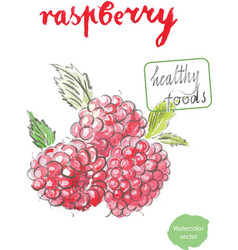 Watercolor raspberry - vector
