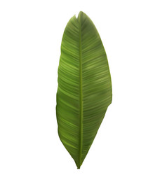 Naturalistic colorful leaf of banana palm vector