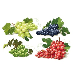 set of ripe grapes vector image