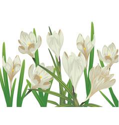 white crocus flowers vector image
