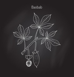 baobab adansonia digitata vector image