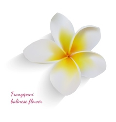 Balinese flower frangipani on isolated white vector image