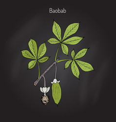 Baobab adansonia digitata vector