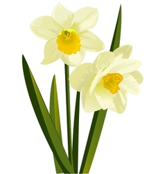 Narcissus vector image