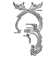 Optic nerve and optic tract vintage vector