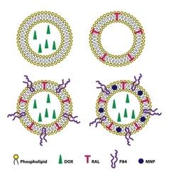Liposomes Drug Delivery System Sheme vector image vector image