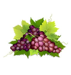 plucked bunch of grapes vector image