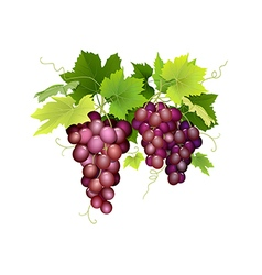 Three bunches of grapes hanging vector
