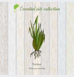 Vetiver essential oil label aromatic plant vector