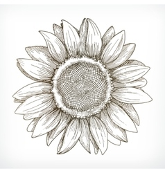 Sunflower sketch hand drawing vector image