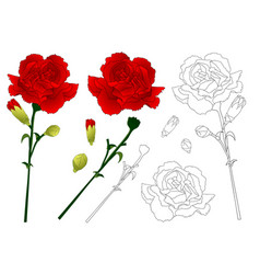 red carnation flower vector image vector image