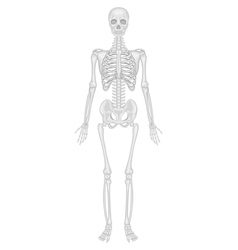 Skeletal system vector image