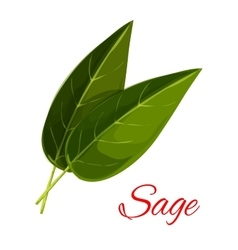 Sage herb leaves isolated icon vector