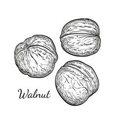 ink sketch of walnuts vector image