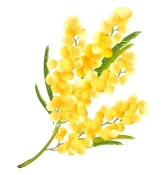 Yellow mimosa flower Acacia flower symbol of vector image vector image