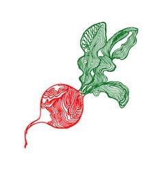 radish sketch vector image vector image