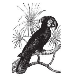 Black cockatoo vintage vector