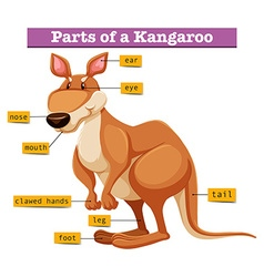 Diagram showing different parts of Kangaroo vector image