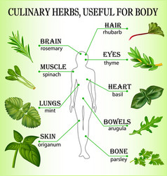 culinary herbs useful for the body vector image vector image