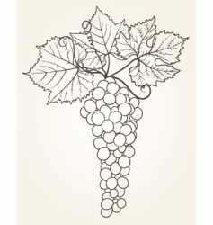 grape outline vector image