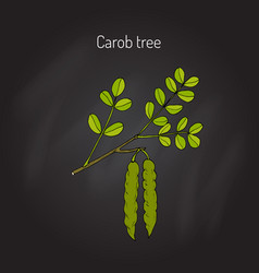 Carob eratonia siliqua vector