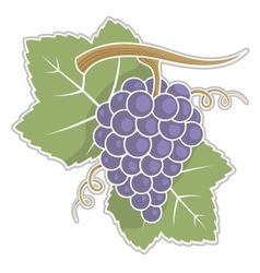 lilac grapes vector image