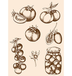 Vintage hand drawn tomatoes vector