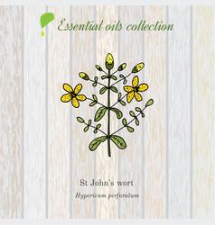 hypericum essential oil label aromatic plant vector image