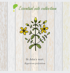 Hypericum essential oil label aromatic plant vector