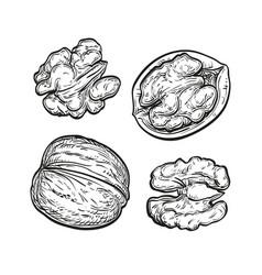 Ink sketch of walnuts vector