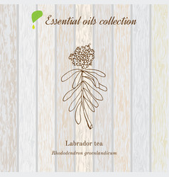 labrador tea essential oil label aromatic plant vector image