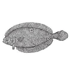 American fourspot flounder vintage vector