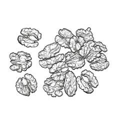 handful of walnuts vector image