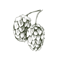hand drawn hop plant vector image