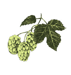 Hand drawn hop plant vector