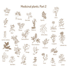 vintage collection of medical herbs vector image vector image