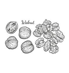 walnuts sketch set vector image
