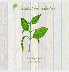 Black pepper essential oil label aromatic plant vector