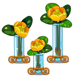 blooming yellow nuphar lutea in glass vase vector image vector image